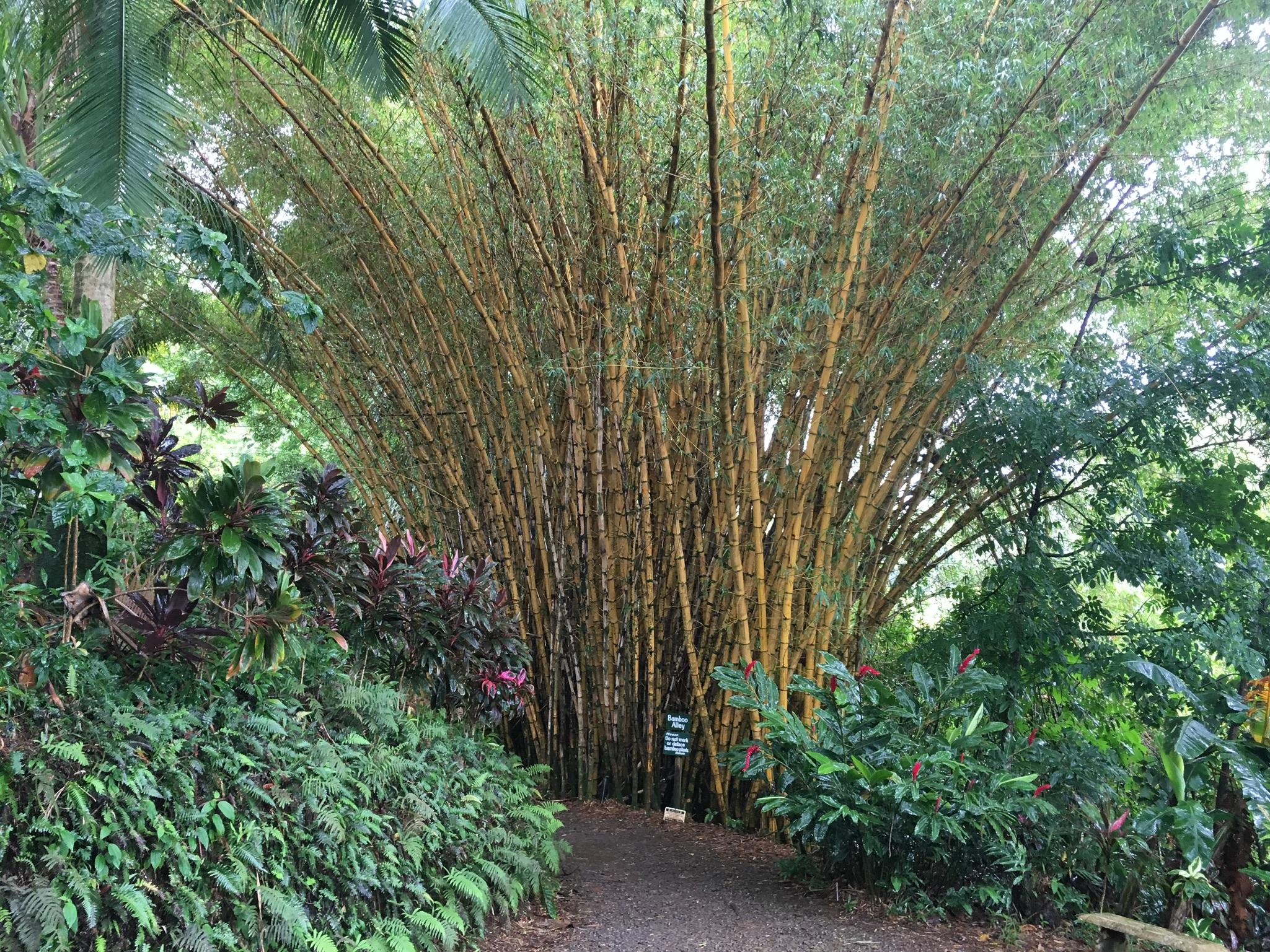 bamboo plants maui garden of eden