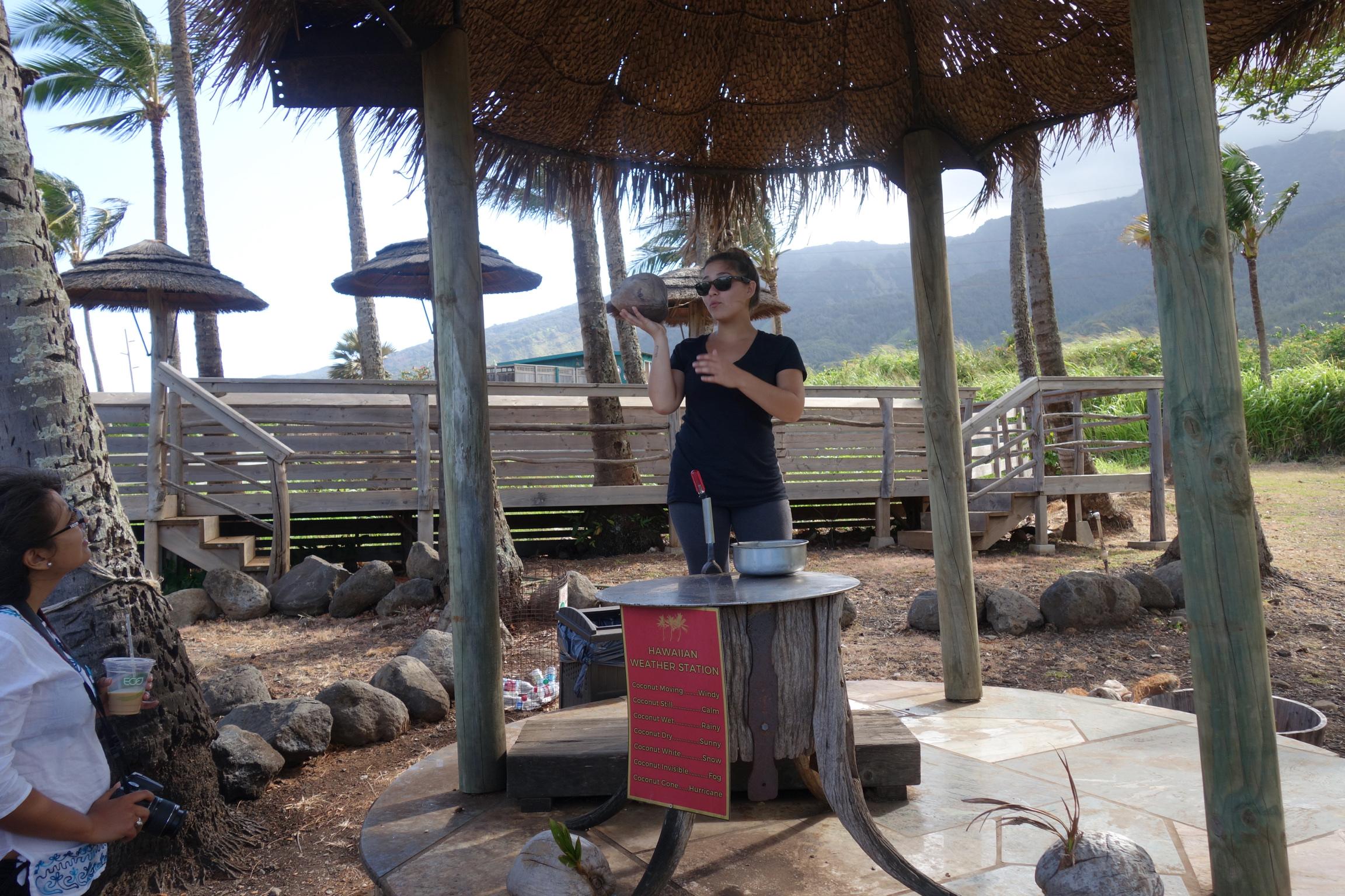 coconut husking maui tropical plantation